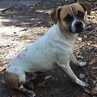 Orlando Fl Chihuahua Meet Lucky A Dog For Adoption Pet