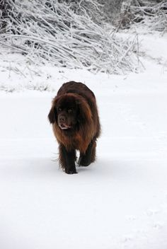 "Zeus, our Newfoundland dog, doing his ""bear"" walk in the snow."