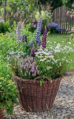 Der Weidenkorb wird einen Sommer lang zum Staudenbeet für Lupinen, Ehrenpreis (Veronica spicata 'Inspire Pink'), Garten-Margerite, Bertrams-Garbe und weiße Kuckucks-Lichtnelke (Lychnis floscuculi 'Alba') #cottagegardenideas