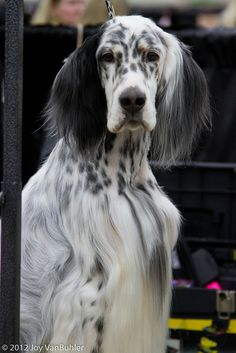 Detroit Kennel Club Dog Show by JoyVanBuhler, via Flickr