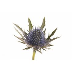 Blue Thistle is a highly sought after navy flower that adds texture.