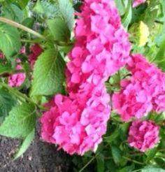 Mooie hortensia uit eigen tuin