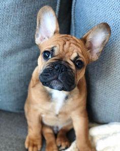 Cute French Bulldog, French Bulldog Puppies, French Bulldogs, Love Dogs, Cute Dogs And Puppies, Doggies, Big Black Dog Breeds, Black Dogs, French Dogs