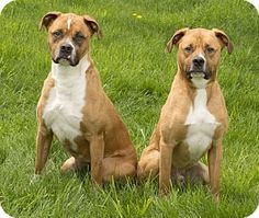 03/06/16 SL~~~Pictures of Roxy & Buddy a Boxer/Pit Bull Terrier Mix for adoption in Chicago, IL who needs a loving home. Roxy & Buddy are a brother/sister bonded pair.