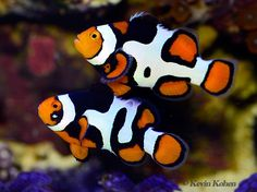 paired clown fish | share this twitter facebook like this like loading related