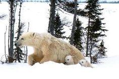 Polar bear safari?     Polar Bear Cubs with their mother © Lynette Reid