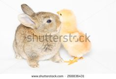 Studio portrait of baby bunny kissing a little chick isolated on white background. #Bunny #Rabbit #Chick #Animals #Pets #Sweet #Card #Wallpapers #Themes #Studio #Portrait #Isolated #Love #Kiss #Kissing #SaintValentine #Holidays #Festive #Easter
