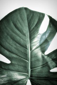 Monstera Art Print, Monstera deliciosa trend, Monstera print, Monstera art, botanic trend, plant trend, urban jungle trend
