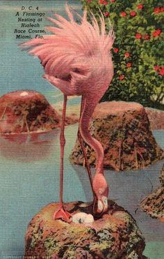 vintage florida flamingo postcard pictures | Vintage Florida Postcard - Pink Flamingo nesting at Hialeah Park