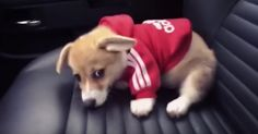 Tiny little corgi in a sweatshirt just can't dig a hole in this car seat