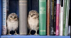 Six-week-old orphaned burrowing OWLETS,  Linford & Christie check out the BOOKS on BIRDS. The owls were hatched at the Hawk Conservancy Trust in Andover, Hampshire, in February 2012. Hand-reared & given 24 hour care in the home of  Jimmy,  Longleat Safari Park employee in Wiltshire, ENGLAND.