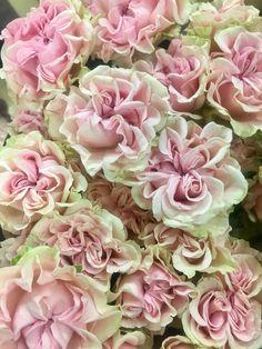 Chiffon, Rose, Flowers, Plants, Photos, Silk Fabric, Pink, Pictures, Sheer Chiffon