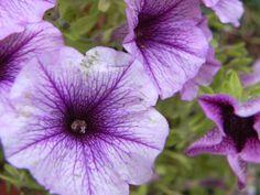 Shining violet