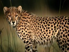 Google Image Result for http://images.nationalgeographic.com/wpf/media-live/photos/000/004/cache/cheetah_492_600x450.jpg