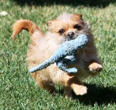 Melbourne is an adoptable Brussels Griffon Dog in Buellton, CA. Marvelous Melbourne is an energetic fellow with a playful attitude. He loves playing with other dogs and enjoys a rousing game of fetch....