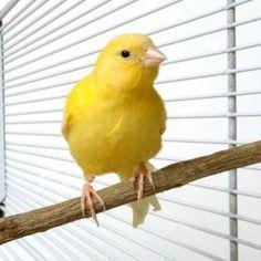 Algunas de las atenciones que necesitan los canarios.