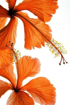 Orange Hibiscus reminds me of the new tropical flower charm in the Hibiscus Flowers, Orange Flowers, Tropical Flowers, Orange Color, Beautiful Flowers, Hibiscus Garden, Hibiscus Cake, Peach Colors, Fleur Orange