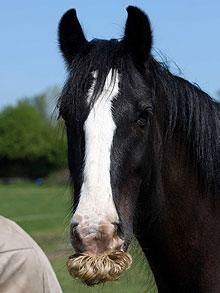 A horse which has grown a curly, golden moustache is refusing to let grooms shave it off.