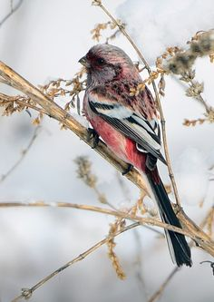 Long-tailed Rosefinch, found in China, Japan, Kazakhstan, North Korea, South Korea & Russia. Habitats are temperate forests, subtropical or tropical moist shrubland, & temperate grassland.        (photo by young sung bae)