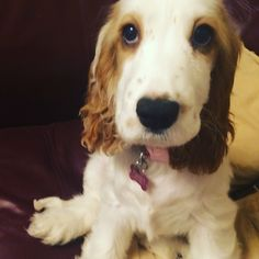 Dolly the naughty Cocker Spaniel's 'am I bovered' face when being told off