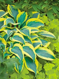 'Autumn Frost' Hosta-shade  A variegated masterpiece with stellar relatives, 'Autumn Frost' is a sport from the 2010 Hosta of the Year 'First Frost'. How does 'Autumn Frost' differ? It offers extra-wide yellow margins that contrast nicely against green-blue leaves.  'Autumn Frost' forms a medium-size, 12-inch tall mound of foliage that is twice as wide as it is tall. It's topped with light lavender flowers in mid- to late summer