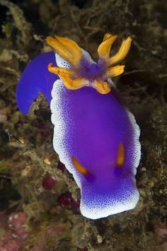 "Nudibranch...it always amazes me how many different ways this little sea slug does ""beautiful""."