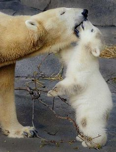 mama and baby #polarbears Visit our page here: http://what-do-animals-eat.com/polar-bears/