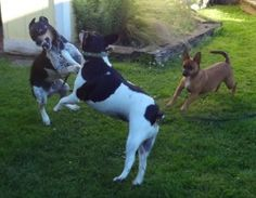 Dancing Dogs at play. Jack & Ti and a Chaweeni named Chloe. Rat Terriers