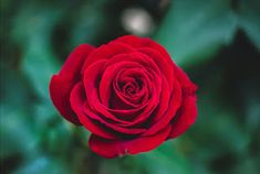 Beautiful Nature Wallpaper Big Size – Picture of Charming Red Rose Flower - HD Wallpapers Flower Images Hd, Flower Pictures, Hd Images, Beautiful Red Roses, Amazing Flowers, Images Wallpaper, Flower Wallpaper, Heart Wallpaper, Flowers Name In English