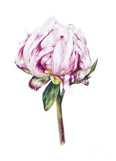 Single Peony II Poster by Marie Burke.  All posters are professionally printed, packaged, and shipped within 3 - 4 business days. Choose from multiple sizes and hundreds of frame and mat options.