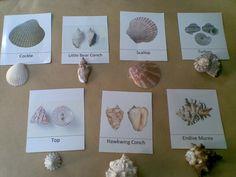 Montessori Zoology: Sea Shells part cards) - idea - have 3 part cards with REAL objects Montessori Science, Preschool Science, Montessori Kindergarten, Preschool Ideas, Reggio Emilia, Sharing A Shell, Ocean Unit, Matching Cards, Sea Theme