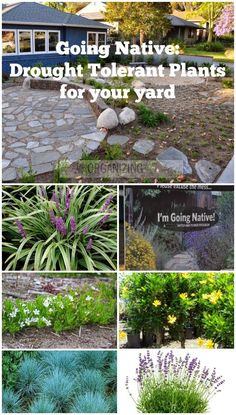 Front Yards Excellent guide to landscaping with native drought tolerant plants. - Given our current drought situation in Southern California, THIS was the best year to take out our front lawn and put in native, drought tolerant plants. My cit… Front Lawn, Xeriscape, Plants, Garden, Lawn And Garden, Native Plants, Front Yard Plants, Outdoor Gardens, Shrubs