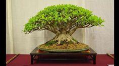 Những thế cây bonsai đẹp tuyệt bạn nhất định phải xem | Bonsai sinh vật ...