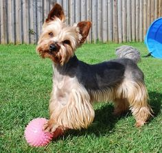 Choosing a haircut for your Yorkshire Terrier? Discover these pictures of Yorkies haircuts for your inspiration. Maltese Yorkie Mix, Yorkie Puppy, Corgi Puppies, Yorshire Terrier, Terrier Mix Dogs, Bull Terriers, Miniature Yorkshire Terrier, Yorkie Hairstyles, Poodle Grooming
