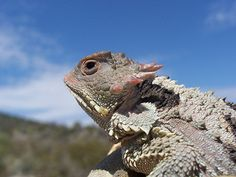 Falso camaleón de montaña (Phrynosoma orbiculare) | Flickr - Photo Sharing!