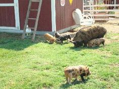 Kune Kune pigs - smaller, back fat, more grass (pasture) for diet than other breeds.