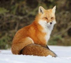 Red Fox by John Pokocky