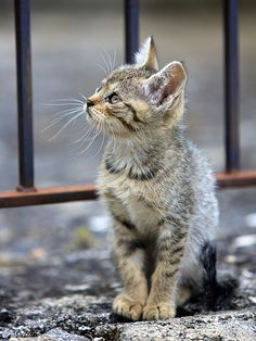 A grey kitten sitting by a gate and looking off into the distance is just ADORABLE