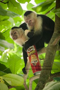 These pair of cappuchin monkeys stole this can of chips from a tourist at a local national park of Costa Rica. These has become more and more of a pest and is very hard to control since people think this is too funny, well the truth is that at some point these mammals won´t want to catch insects and eat fruit because of the human delicatessen