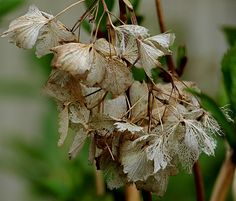 I could not help but notice the beauty in these decayed flowers, so very beautiful in their lacy finery. Landscape Photography, Nature Photography, Growth And Decay, Garden Shrubs, Garden Structures, Antique Lace, Outdoor Fun, Art Images, Gardening Tips
