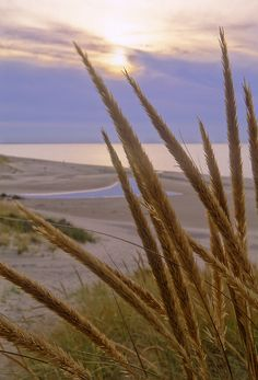 Marram grass and its seed heads top the crest of a small fore dune along the Lake Michigan shoreline, Warren Dunes State Park, MI