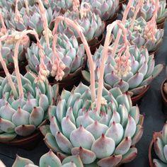 Chihuahuensis Echeveria - Succulent Arree