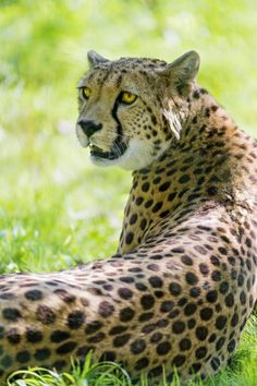 Relaxed female cheetah in the grass (by Tambako the Jaguar)