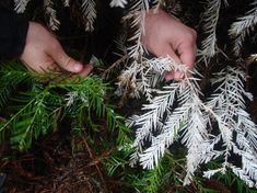 Albino redwoods are rare features of California's redwood forests (Zane Moore, Special to the Mercury News)
