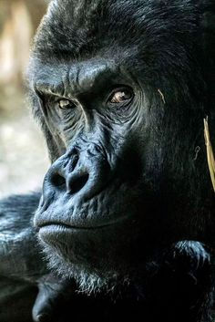 Especie Animal, Mundo Animal, Save Animals, Animals And Pets, Jungle Tattoo, Monkey Pictures, Silverback Gorilla, Sloth Bear, Funny Animals