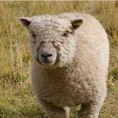 Bedfordshire Wool Company Southdown 4-ply knitting yarn (100g hanks) $10.00
