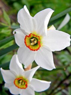 Narcissus poeticus, Pheasant eye daffodil.