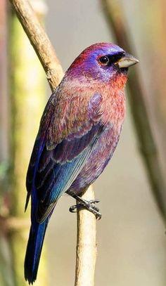 Veelkleurengors - Varied Bunting (Passerina versicolor) in Mexico by Davy Garrido.