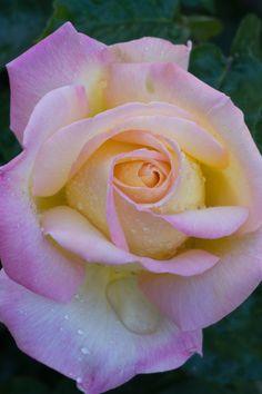 'Peace' | Hybrid Tea Rose. Francis Meilland (France, 1935). | Flickr - © Rose-Beauty