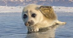 Photographer Spent 3 Years Trying To Get His First Shot Of Seals On Ice, Until He Met This Pup… | Bored Panda